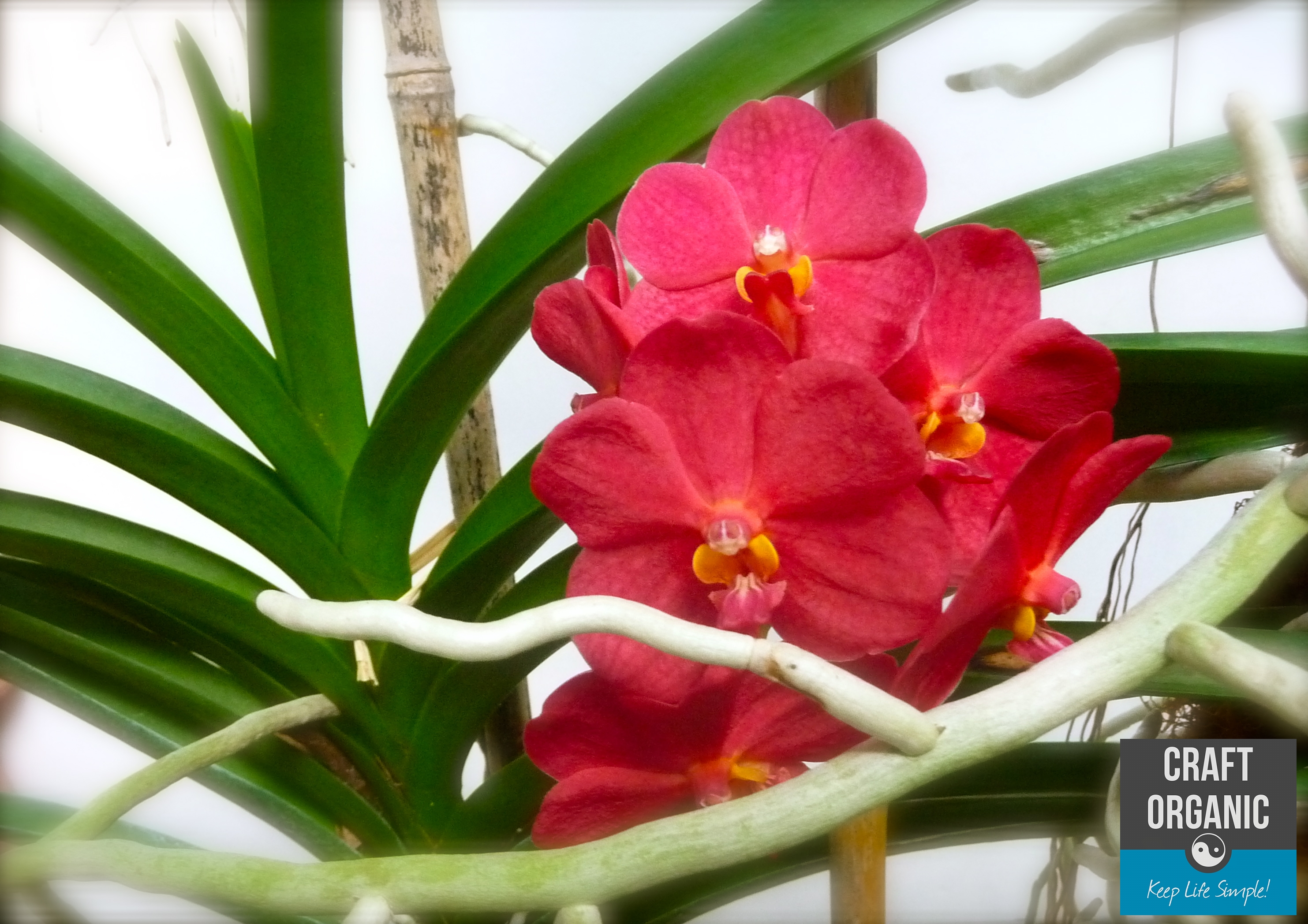 Orchids on bamboo lattice revisited craft organic - Vanda orchid care ...