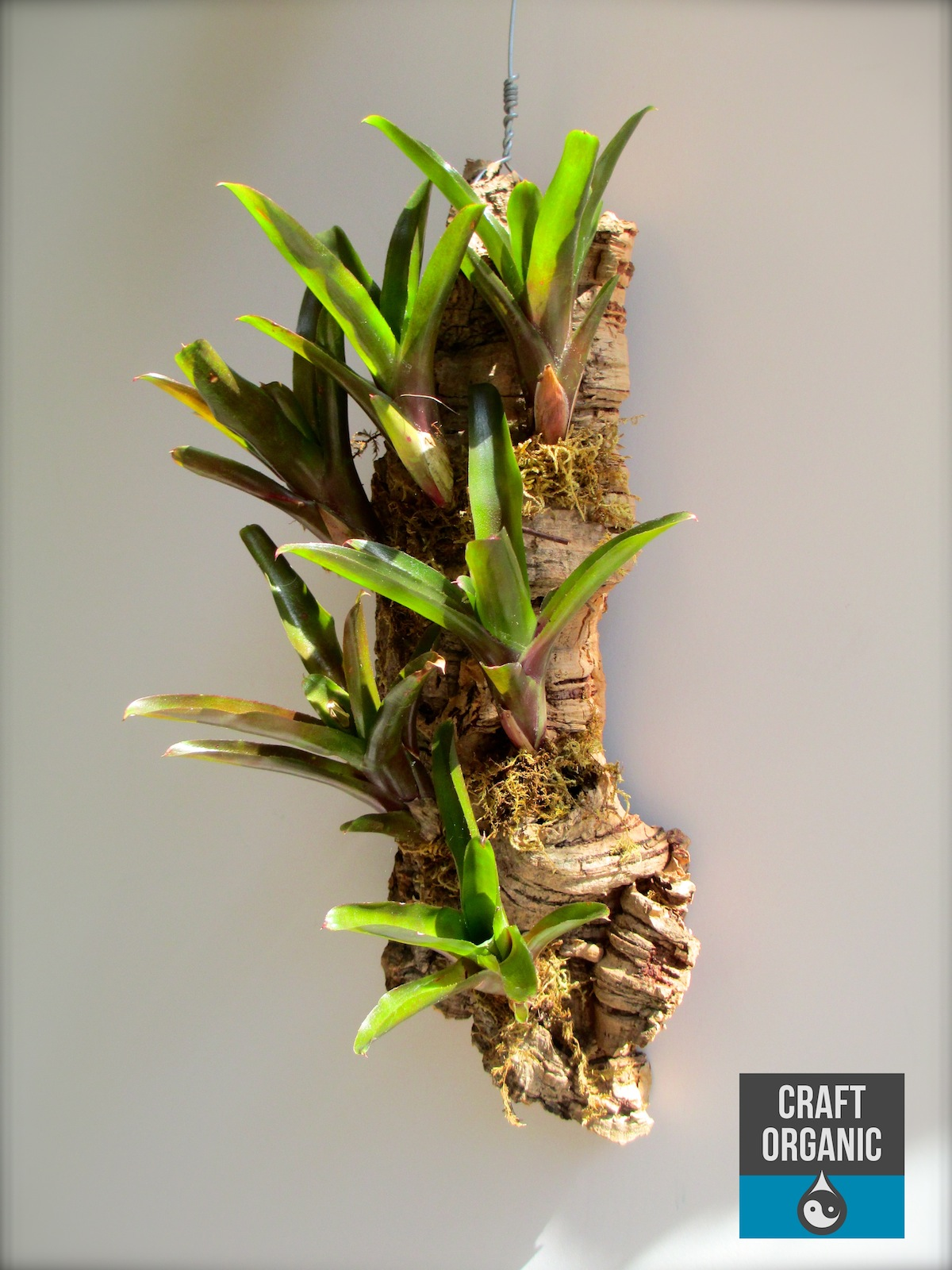 Bromeliads How To Keep The Color Going: Mini Bromeliads On Slab Of Natural Cork