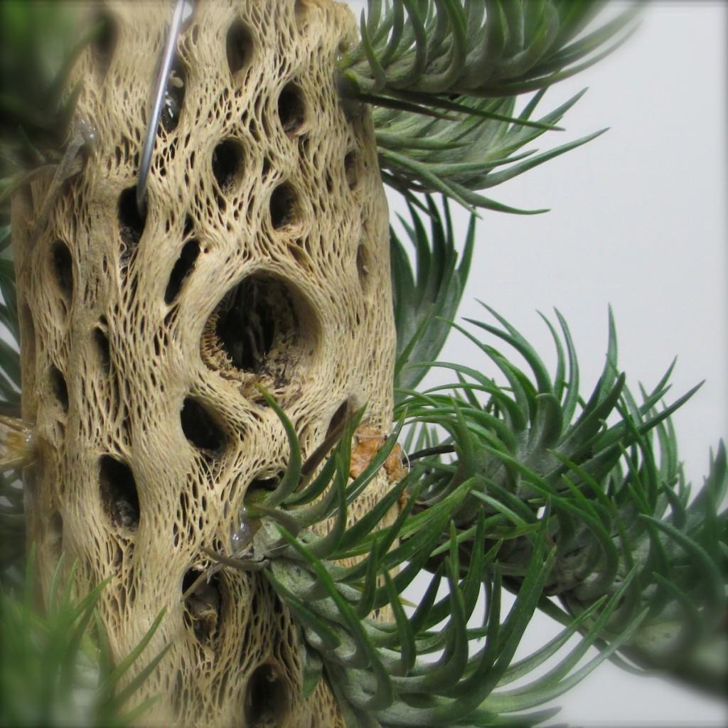 Tillandsia On Cholla Wood Craft Organic