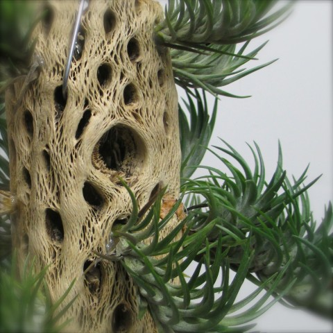 Tillandsia on Cholla Wood