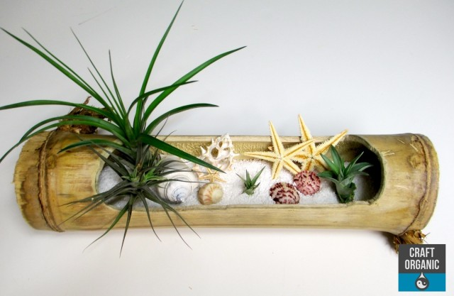 Tillandsia_Beach02