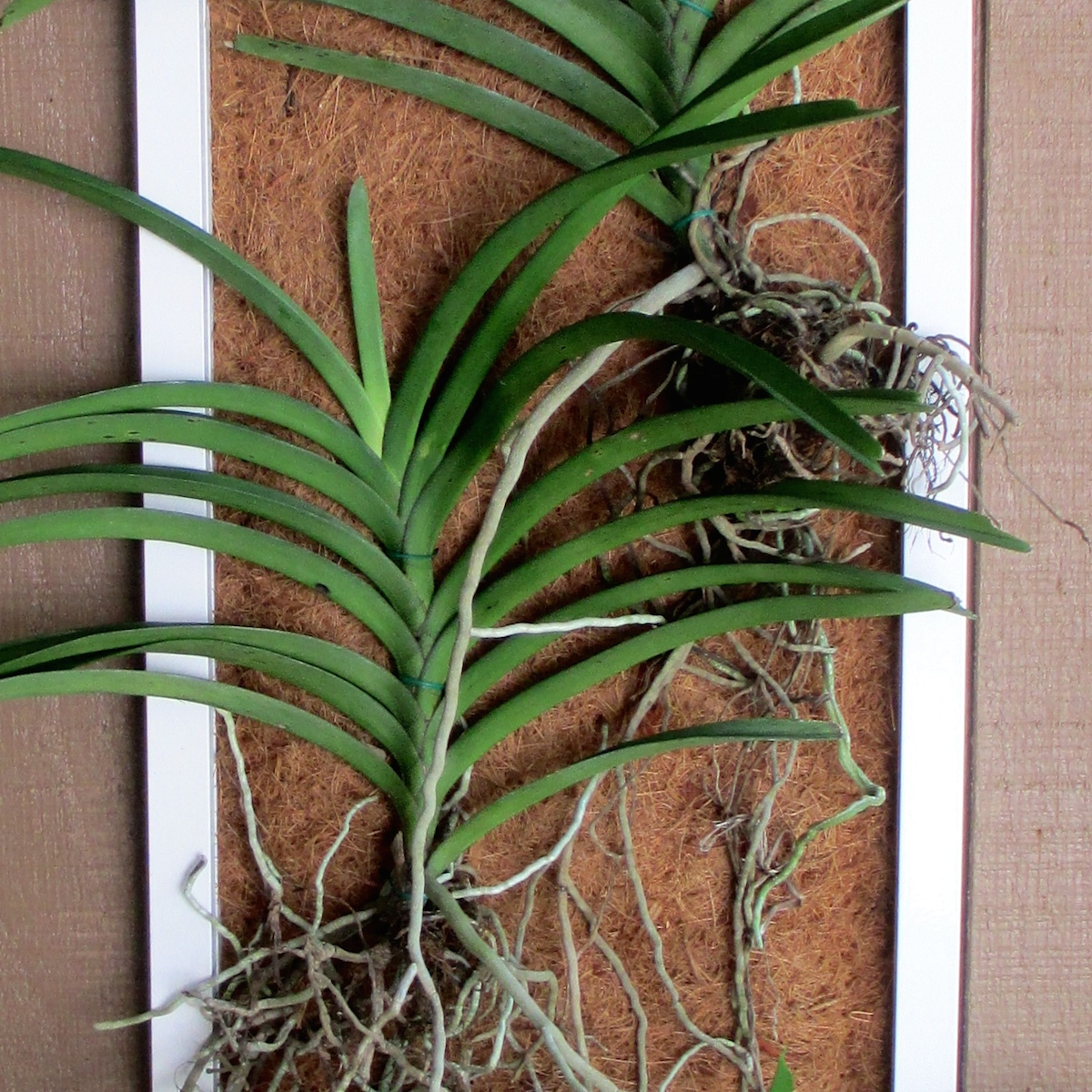 Orchids Mounted To Coconut Fiber Frame Craft Organic